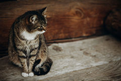 Cute domestic cat sitting on wooden floor near rustic slavic hou. Se, funny grey cat posing in countryside outdoors close-up, pet animal concept Royalty Free Stock Images