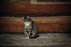 Cute domestic cat sitting on wooden floor near rustic slavic hou. Se, funny grey cat posing in countryside outdoors close-up, pet animal concept Stock Photos