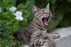 Cute domestic cat yawning Stock Image