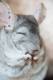 Cute domestic chinchilla eating seeds with appetite. Close-up portrait Royalty Free Stock Images