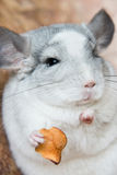 Cute domestic chinchilla holding food with arms Stock Photos