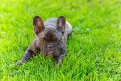 Cute domestic dog brindle French Bulldog breed Royalty Free Stock Photos