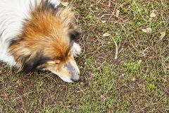 Cute domestic dog lies on earth with closed eyes. Top view. Copy space Royalty Free Stock Image