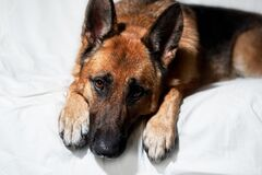 Free Cute Domestic Dog Lies With Its Paws Folded In Front Of Its Muzzle. Charming Black And Red German Shepherd Lies On White Blanket Royalty Free Stock Images - 210458439