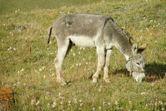 Cute domestic donkey eats grass. Cute gray donkey standing in. Donkey in the wild, the donkey is looking forward. Cute domestic donkey eats grass Stock Photos