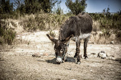 Cute domestic donkey grazing. Under the sun in summer day Stock Photo