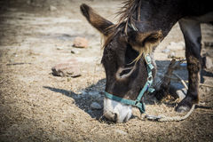 Cute domestic donkey grazing. Under the sun in summer day Royalty Free Stock Photography
