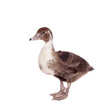 Cute domestic duckling on white Stock Image