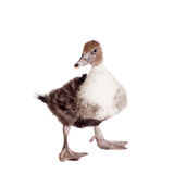 Cute domestic duckling on white Royalty Free Stock Photography