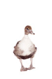 Cute domestic duckling on white Royalty Free Stock Photo