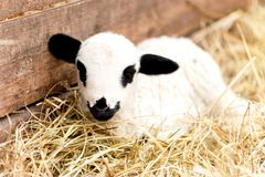 Cute domestic farm lamb sleeping in hay royalty free stock photo