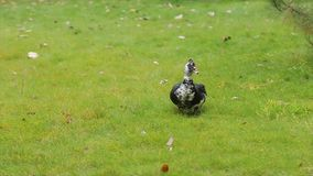 Cute domestic gosling or duck walking in green grass. Duck interesting color, duck with brown forelock is on the grass and twists his head around, dry leaves are stock video