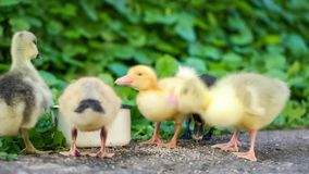 Gosling and duckling in green grass stock video