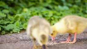 Gosling and duckling in green grass. Cute domestic gosling and duckling eating grain, drinking water and walking in green grass, outdoor stock video footage