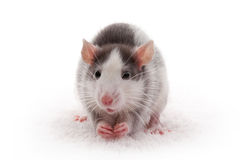 Cute domestic gray rat Royalty Free Stock Photo