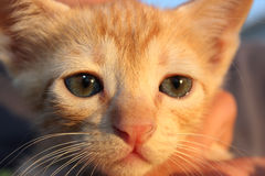 Cute domestic kitten. Stock Photography