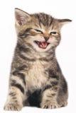 Cute domestic kitten Stock Image