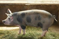 Cute domestic pig. At the farm Stock Photos