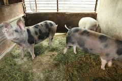 Cute domestic pigs. At the farm royalty free stock photo