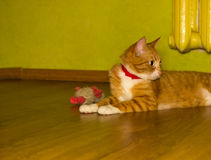 Cute domestic red cat on a floor Stock Image