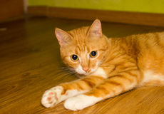 Cute domestic red cat on a floor Stock Photos