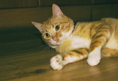 Cute domestic red cat on a floor Royalty Free Stock Photo