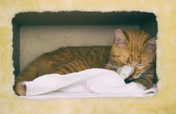 Cute domestic red cat in a house Stock Photos