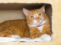 Cute domestic red cat in a house Royalty Free Stock Photo