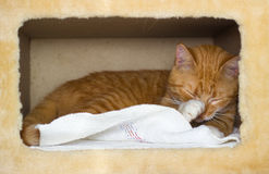 Cute domestic red cat in a house Royalty Free Stock Photography