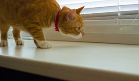 Cute domestic red cat on a sill Stock Image