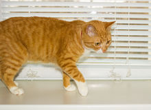 Cute domestic red cat on a sill Royalty Free Stock Photos
