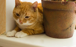 Cute domestic red cat on a sill Stock Photos