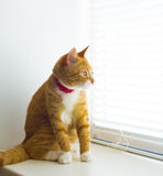 Cute domestic red cat on a sill Royalty Free Stock Photography