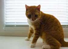 Cute domestic red cat on a sill Royalty Free Stock Photo