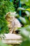 Cute domestic short hair cat Royalty Free Stock Photos