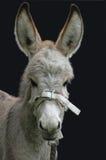 Cute donkey. Filly on black background Royalty Free Stock Image