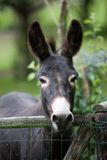 Cute donkey. Peering curiously over the fence with his ears poised Royalty Free Stock Photography
