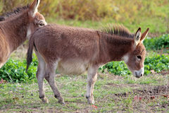 Cute Donkey. A cute baby donkey walking across a paddock Royalty Free Stock Photos
