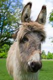 A cute donkey close-up Royalty Free Stock Image