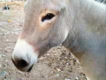 Cute donkey close up. In a farm Royalty Free Stock Image