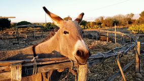 Cute donkey close up. In a farm Stock Image