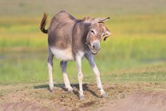 Cute donkey is defending itself from gadfly. Cute donkey is defending itself from fly Stock Photography