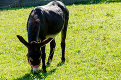 A cute donkey while eating grass Stock Images
