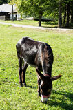 A cute donkey while eating grass Stock Photos