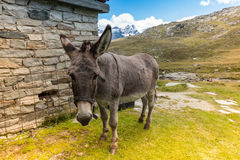 Cute donkey eating grass in mountain landscape Royalty Free Stock Images
