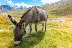 Cute donkey eating grass in mountain landscape Royalty Free Stock Photos