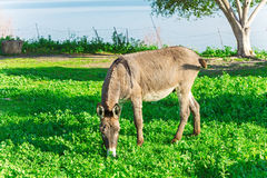 Cute Donkey Eating Green Grass near Lake Stock Photo