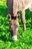 Cute Donkey Eating Green Grass near Lake Stock Photography