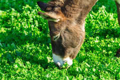 Cute Donkey Eating Green Grass near Lake Stock Images