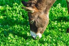 Cute Donkey Eating Green Grass near Lake. Cute Donkey Eating Green Grass Stock Images